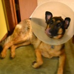 German Shepherd in a Cone.